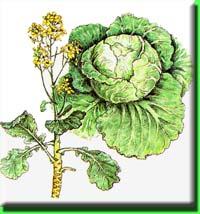 как цветет белокочанная капуста
