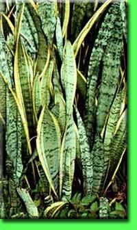 Сансевиерия (щучий хвост, тещин язык)