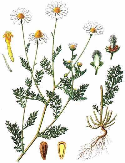Пупавка собачья (Anthemis cotula)