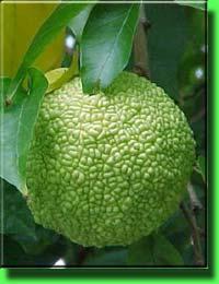 Маклюра адамово яблоко