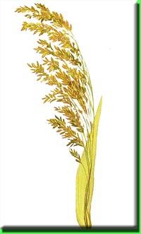 фото просо растение
