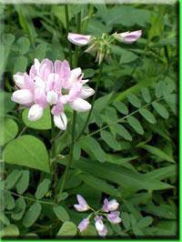 Вязель выращивание из семян фото 6